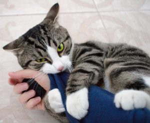 chat agressif qui mord et griffe