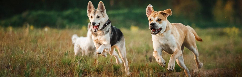 promenade collective chiens